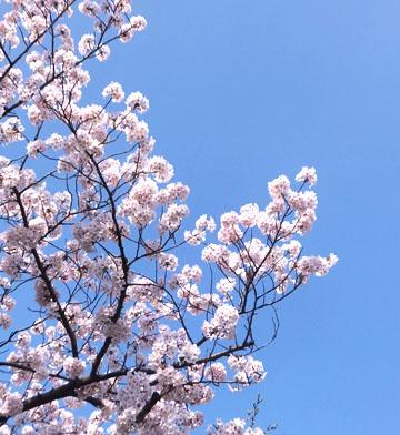 出勤途中の桜